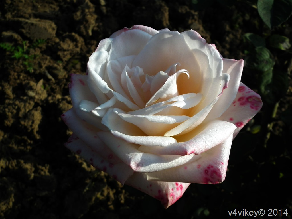 Single White Roses Pictures