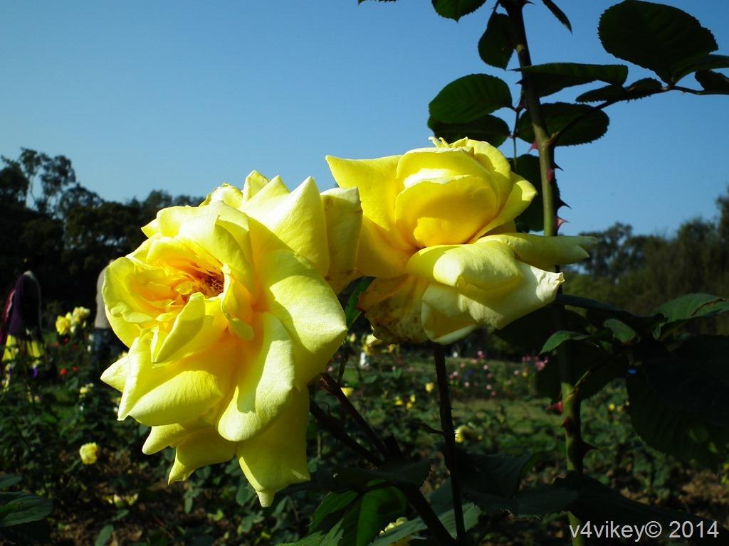 Rose Flowers  (117)