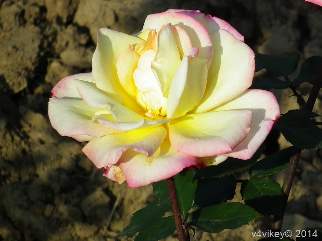 Yellow Pink Hybrid Rose