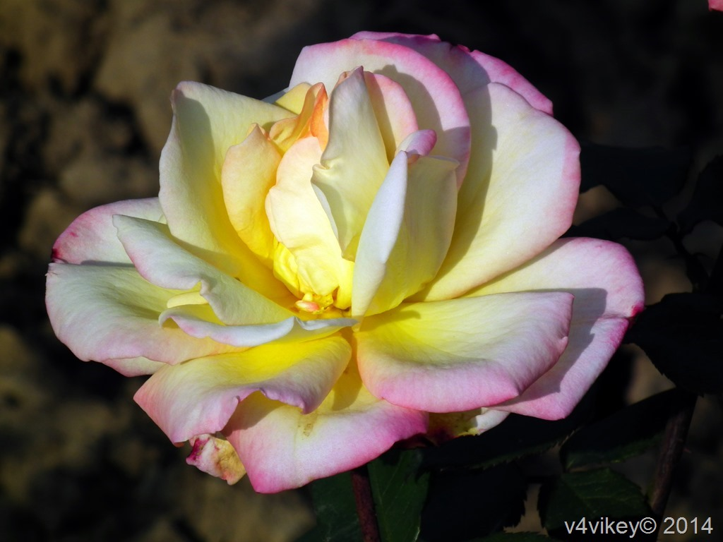 Two Color Rose Flower