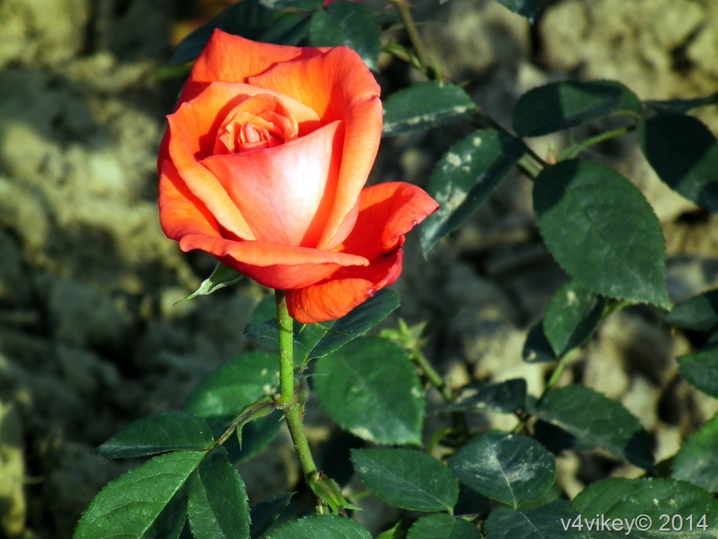 Rose in Orange Color
