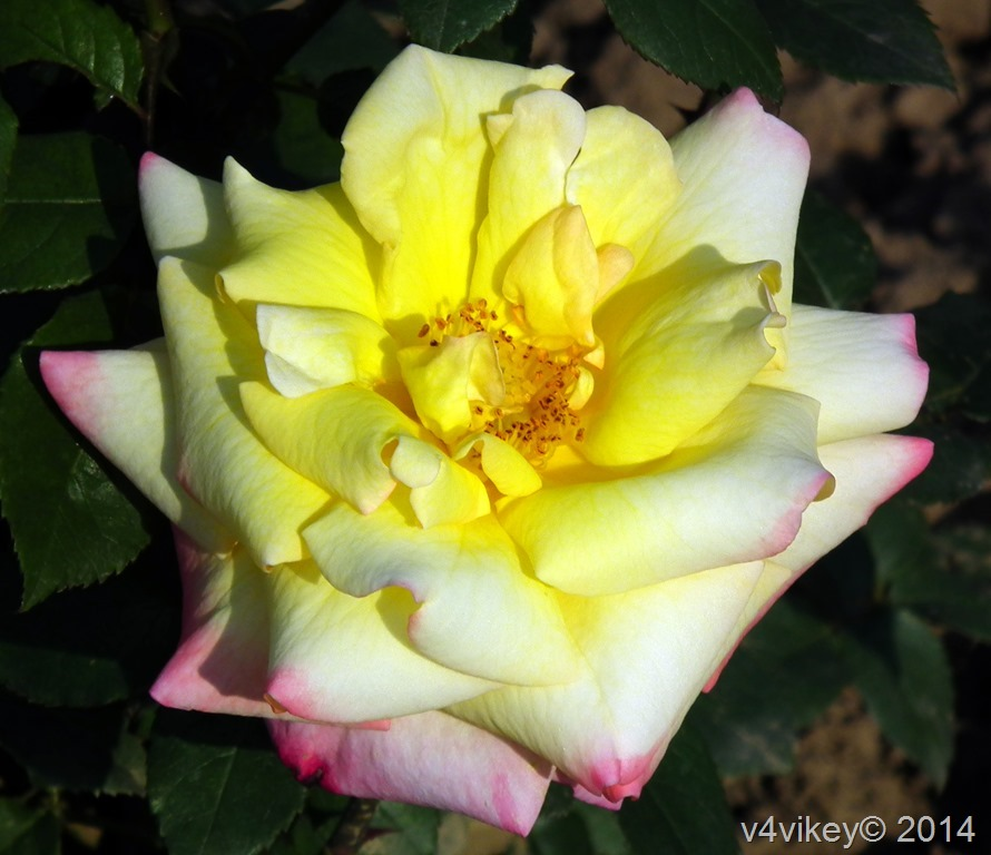 yellow Pink Rose flower
