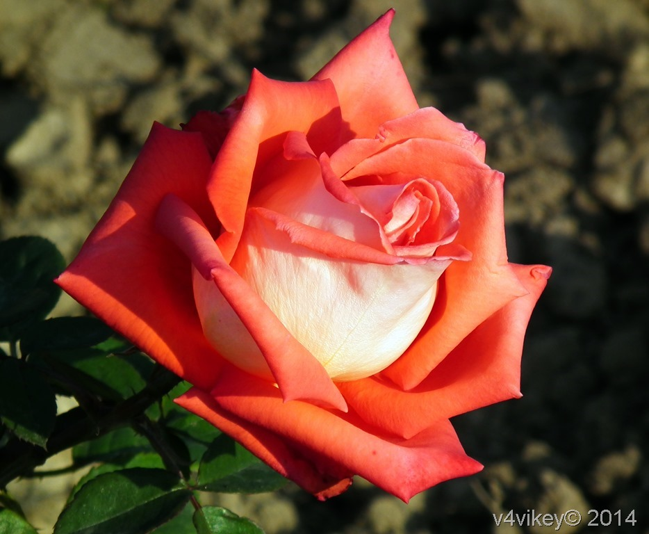 Orange Color Rose