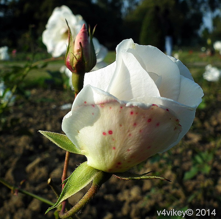 White Color Rose with Bud
