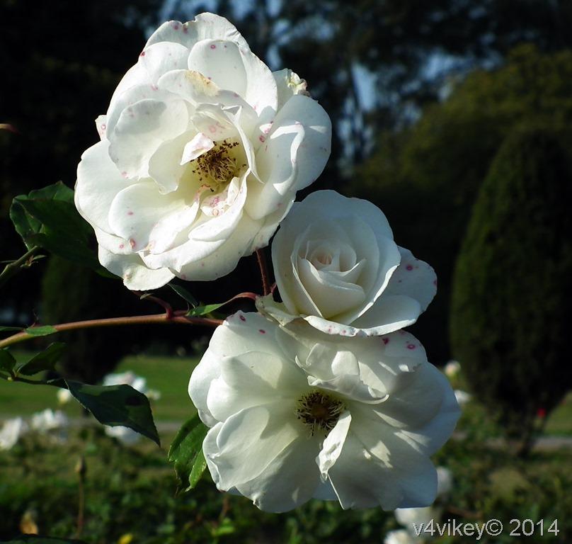 Rose Flowers  (177)