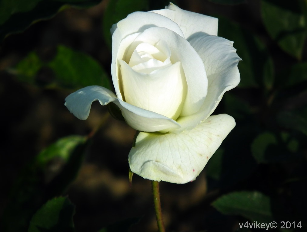 White Rose Flower
