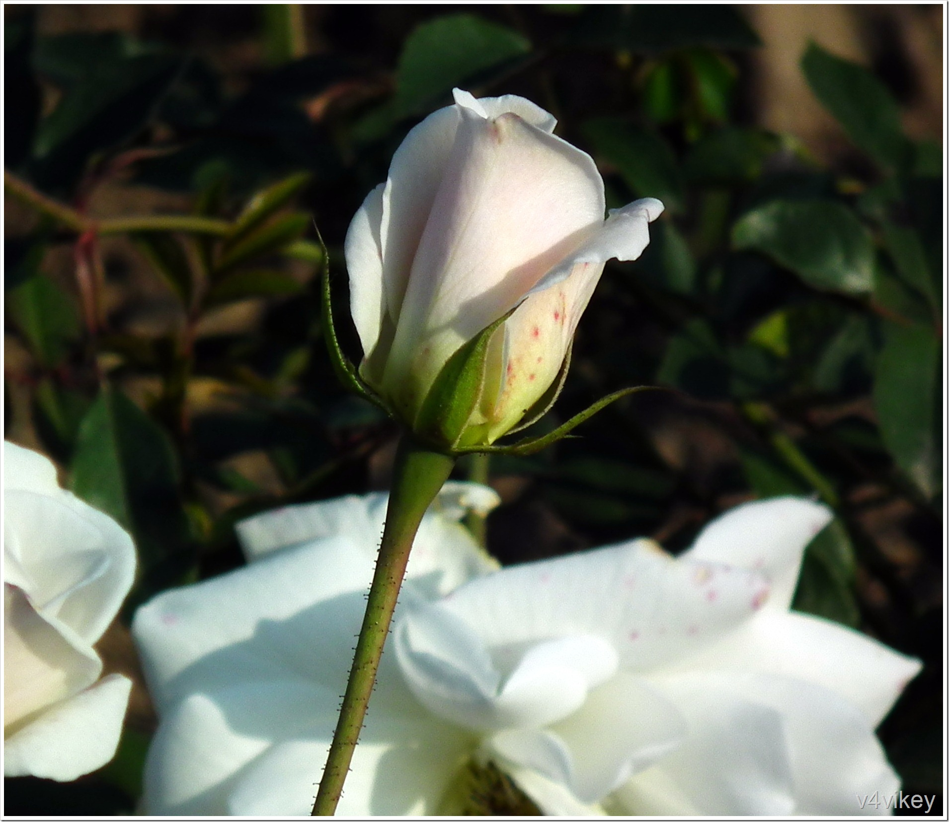 White Rose flower Bud
