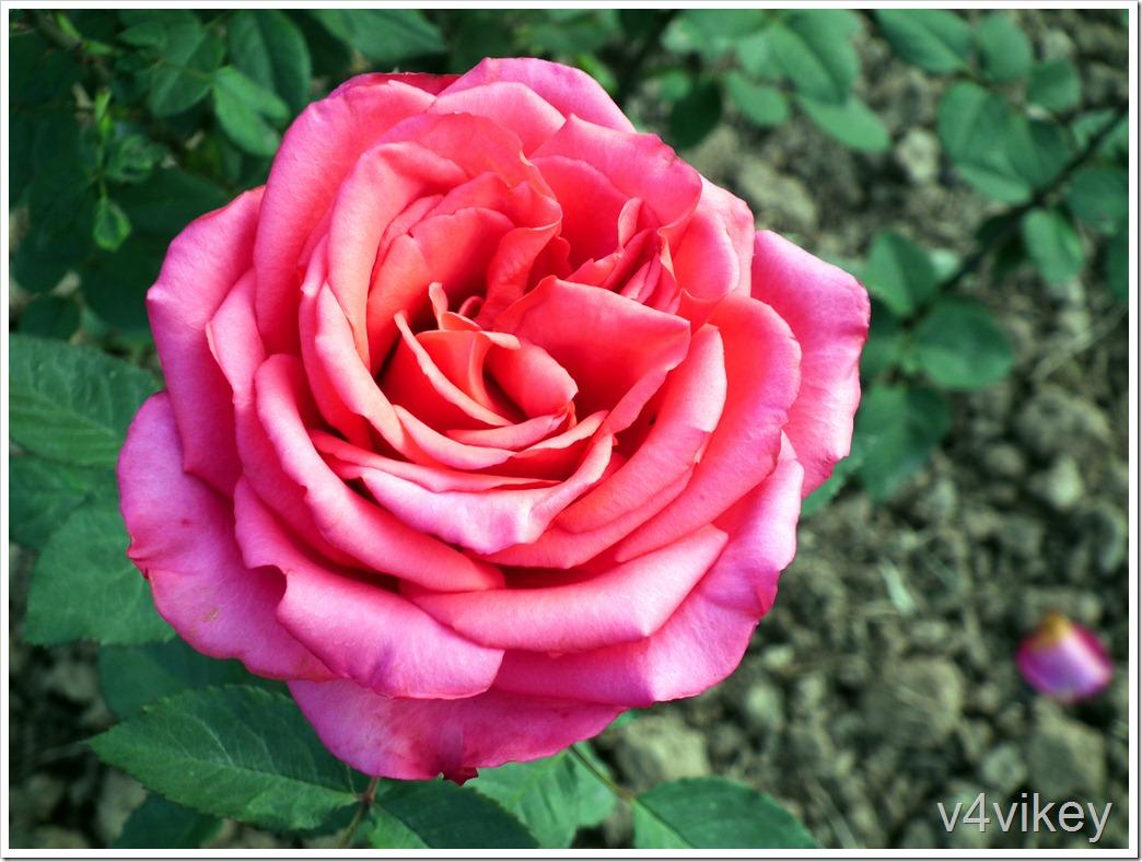 Elizabeth Taylor Hybrid Tea Pink Rose Flower