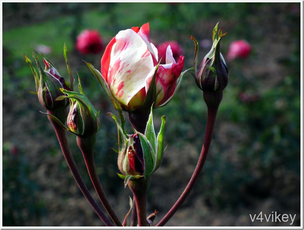 Scentimental Floribunda Rose Flower Bud