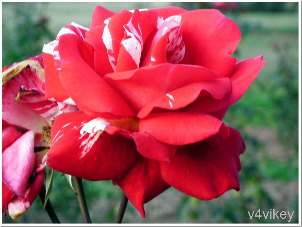 Scentimental Floribunda Rose Photograph