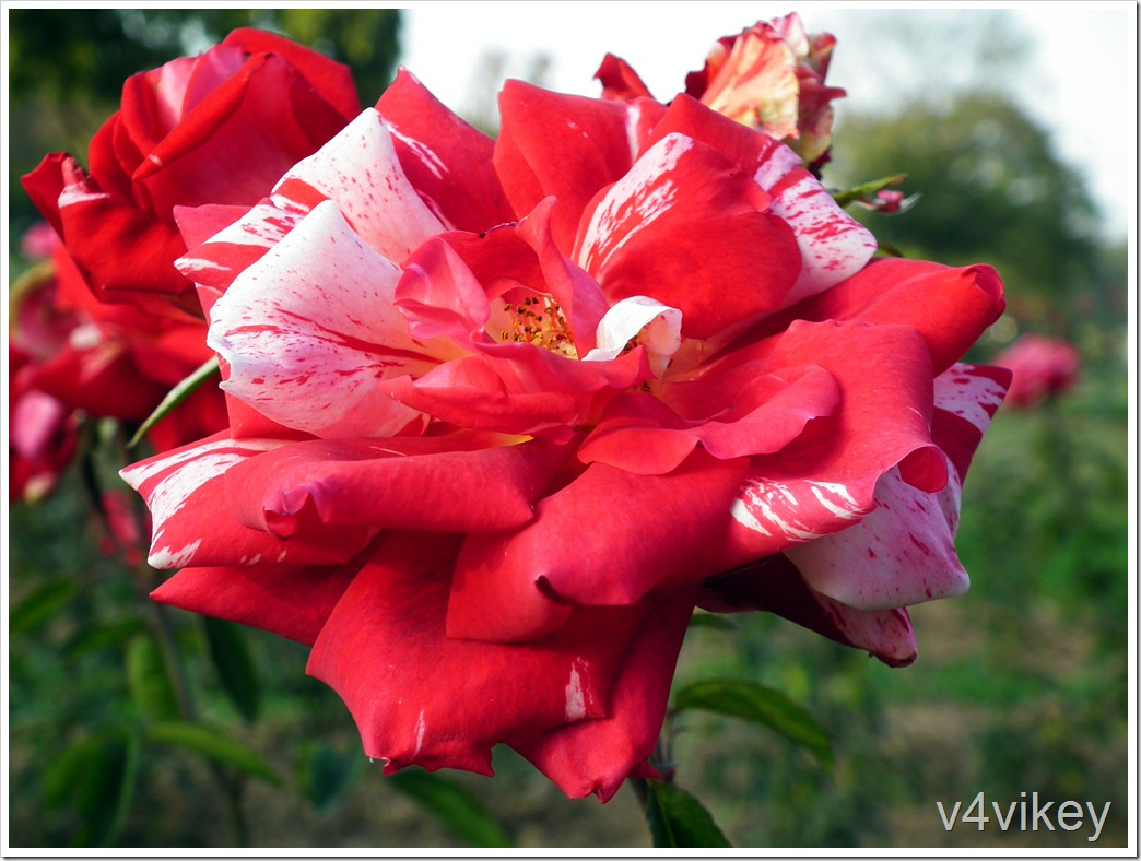 Scentimental Floribunda Rose Picture