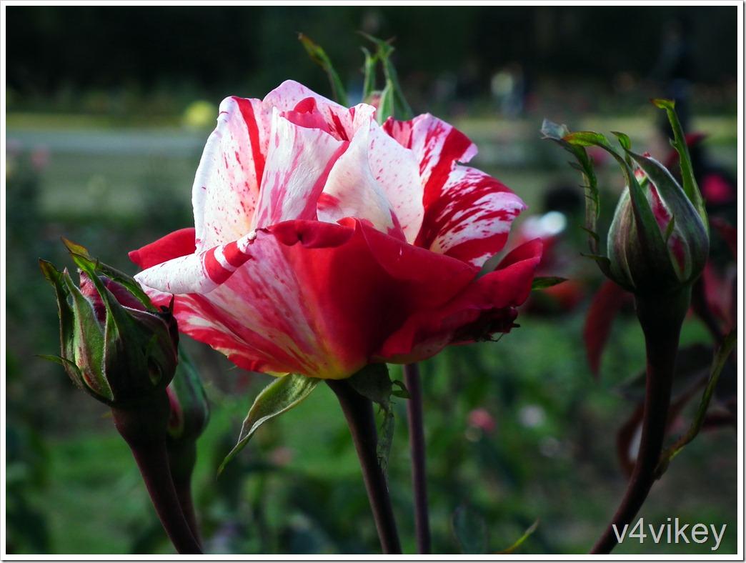 Scentimental Rose Flower Wallpaper