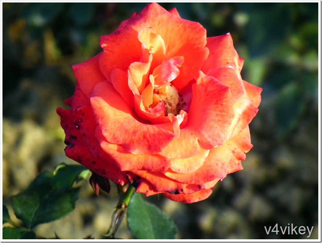 Climbers Orange Color Rose Flower