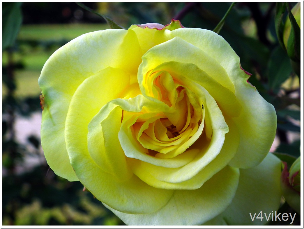Persian Yellow Rose Flower
