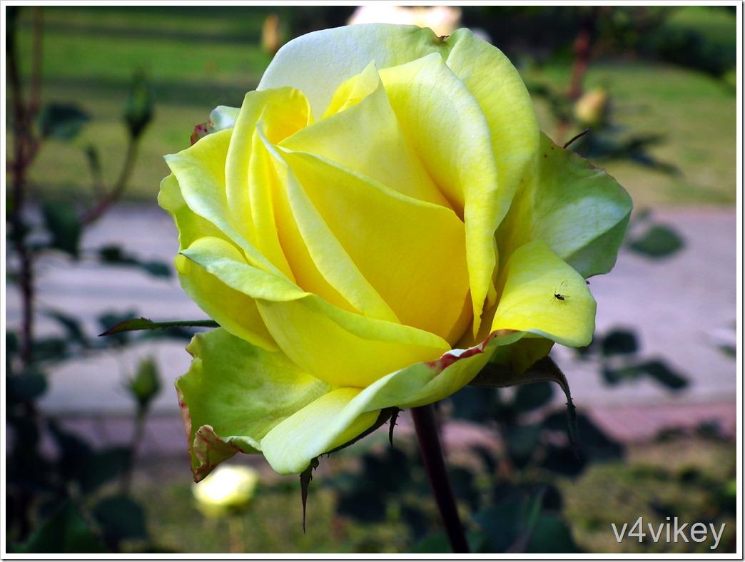 Victoria Pendleton Rose Flower Wallpaper