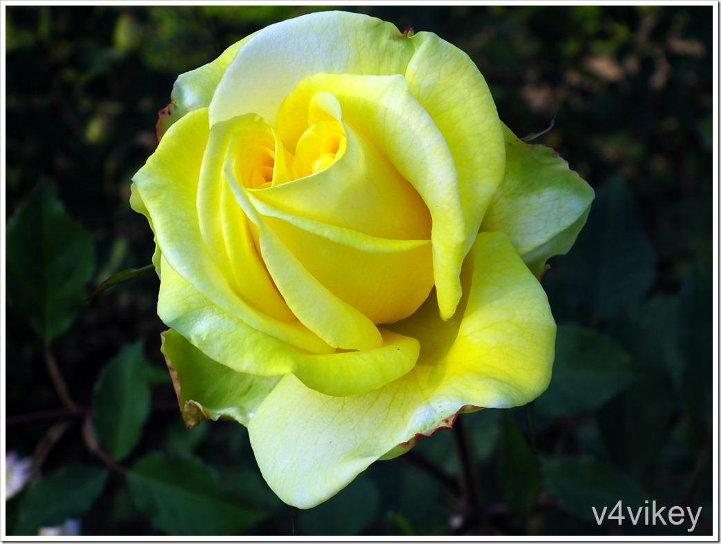 Topaz Jewell Rose Flower