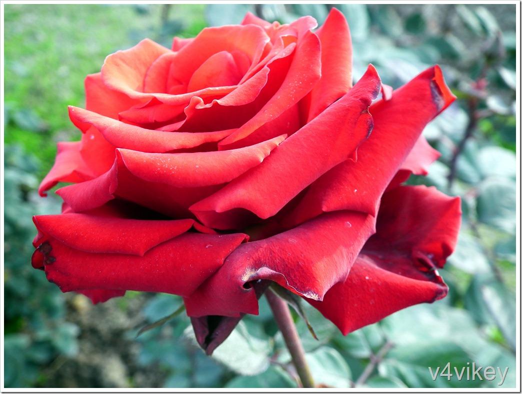 Annabelle Floribunda Roses