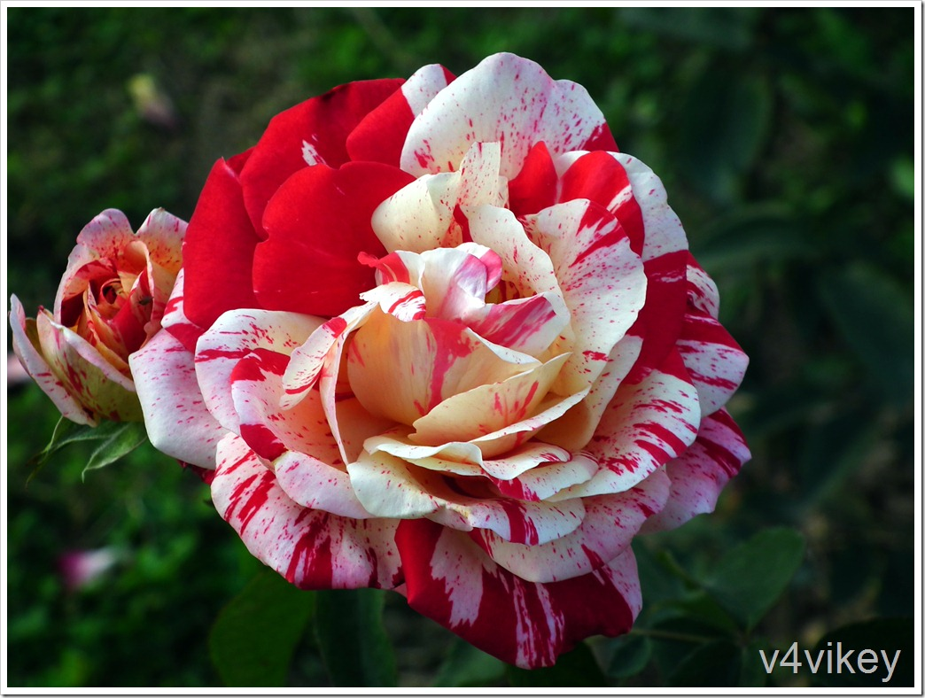 1-Rose Flowers  (386)
