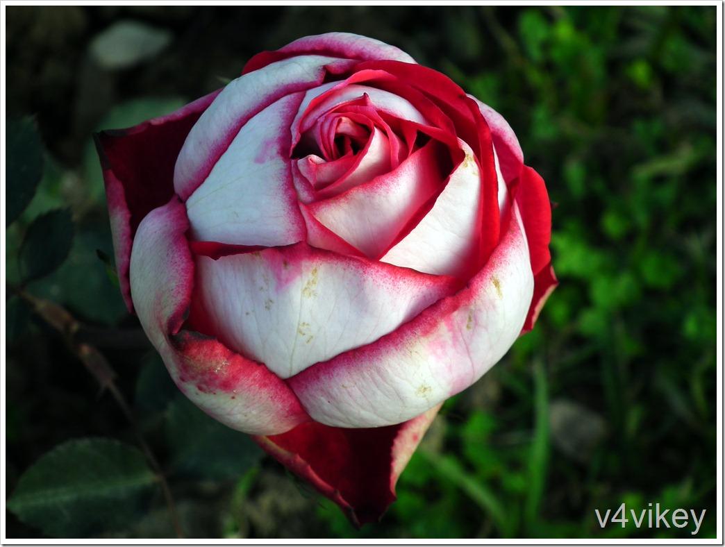 Latin Lady Ecuadorian Rose flower