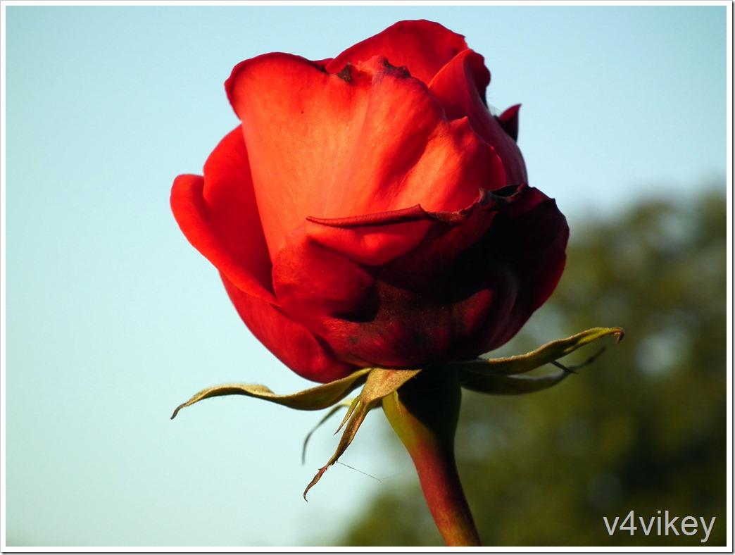Cleopatra Hybrid Tea Rose