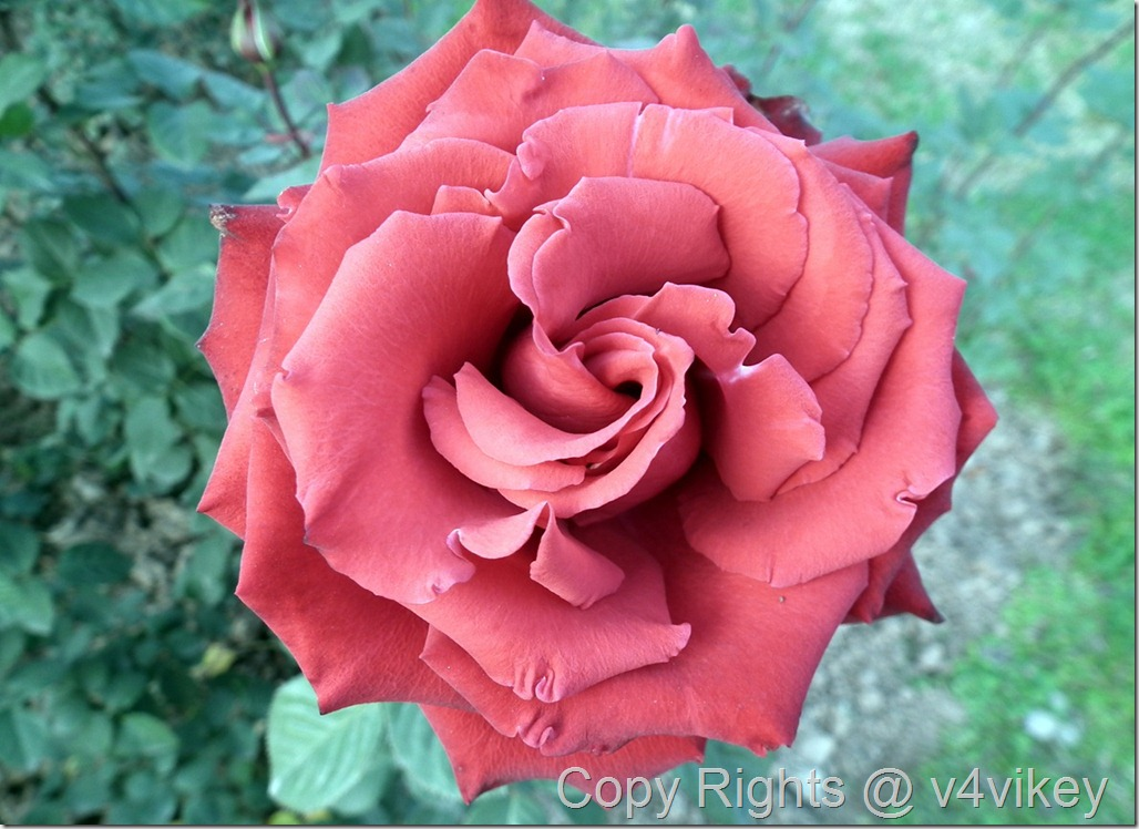 Mister Lincoln Hybrid Tea Rose