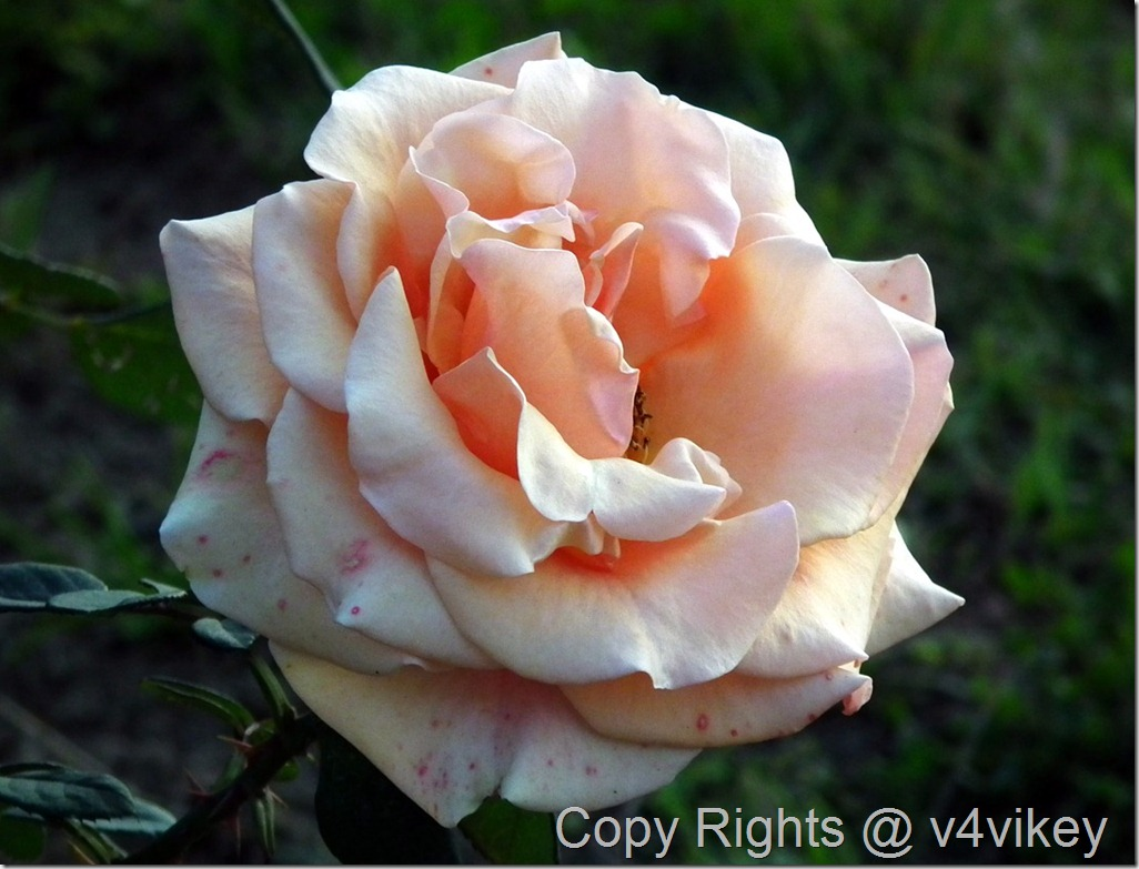 Apricot Climbing Rose