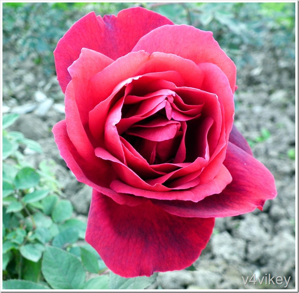 Miss All-American Beauty Hybrid Tea Rose Flower