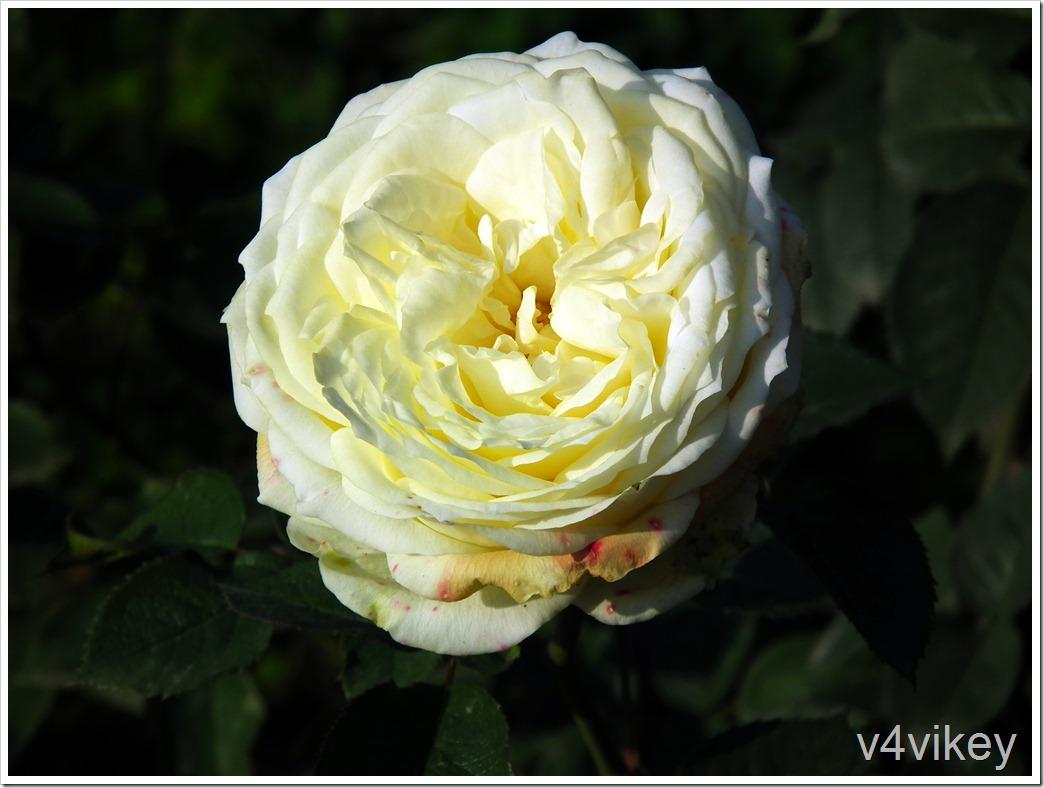 St. Alban English Rose Flower