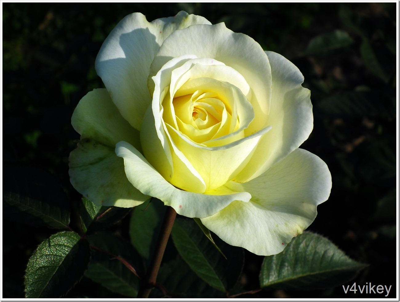 St. Patrick Hybrid Tea Rose HD Wallpaper