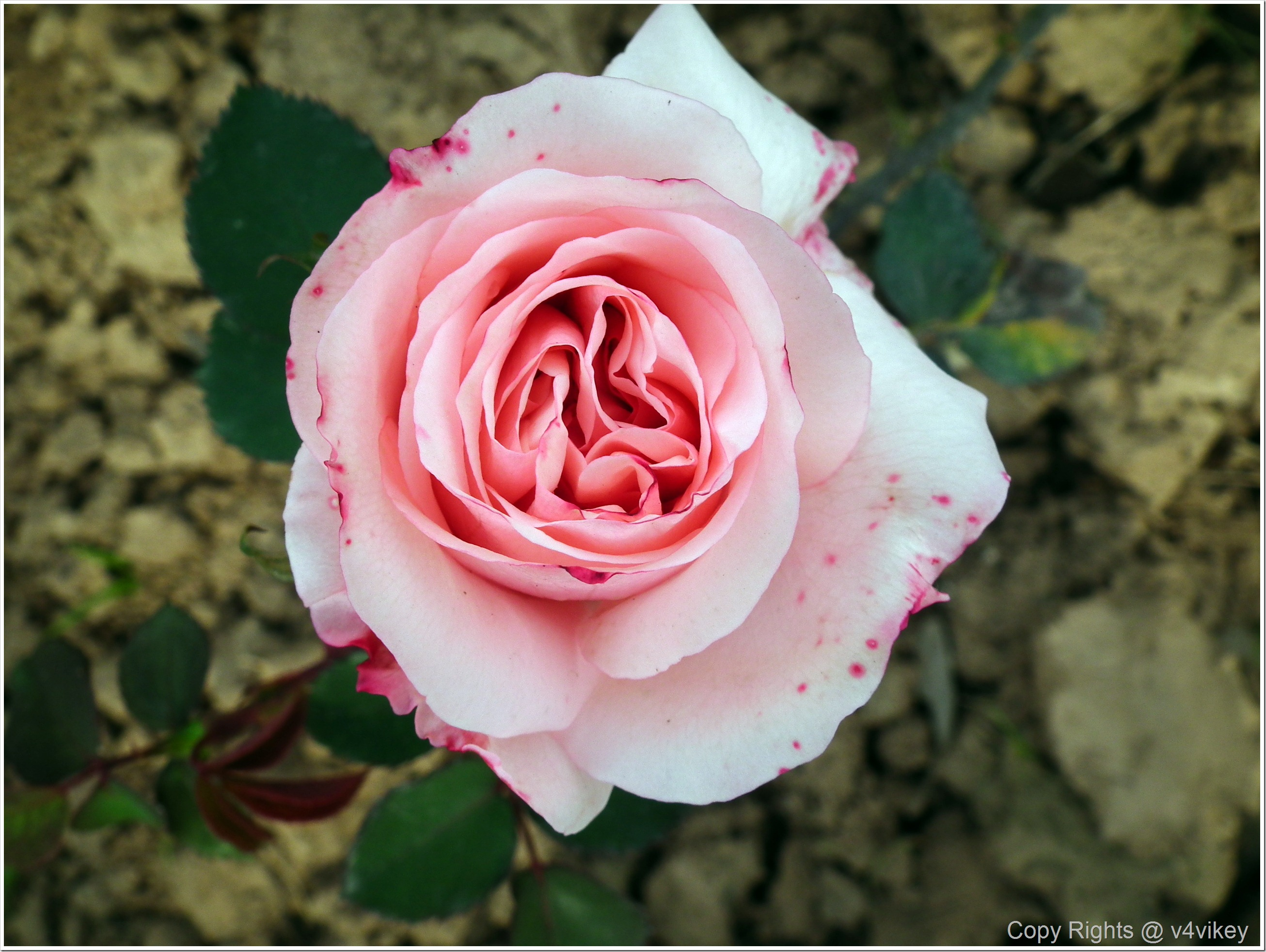 Light Pink Rose Flower