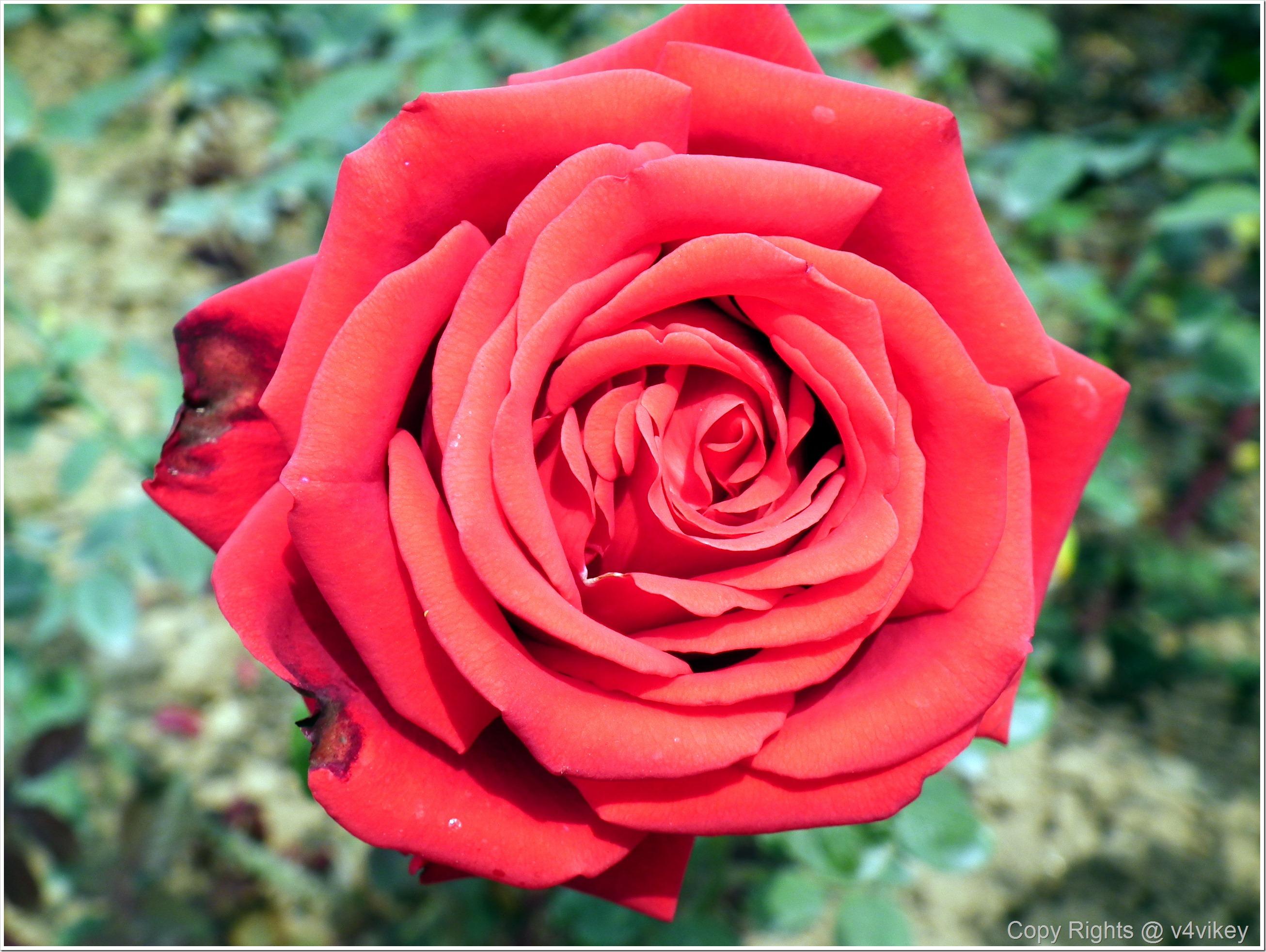 Red Color Rose Flower
