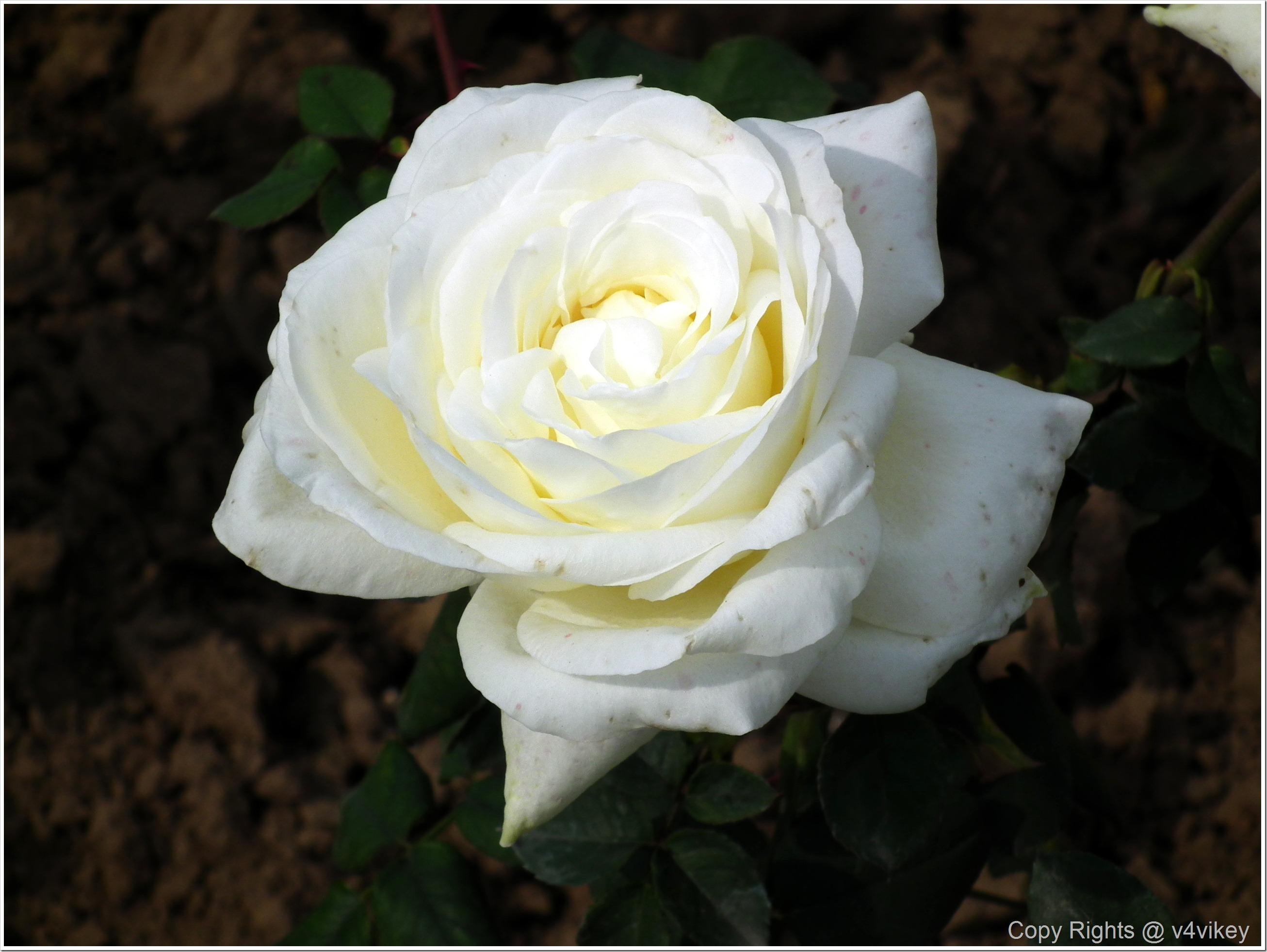 White Color Rose