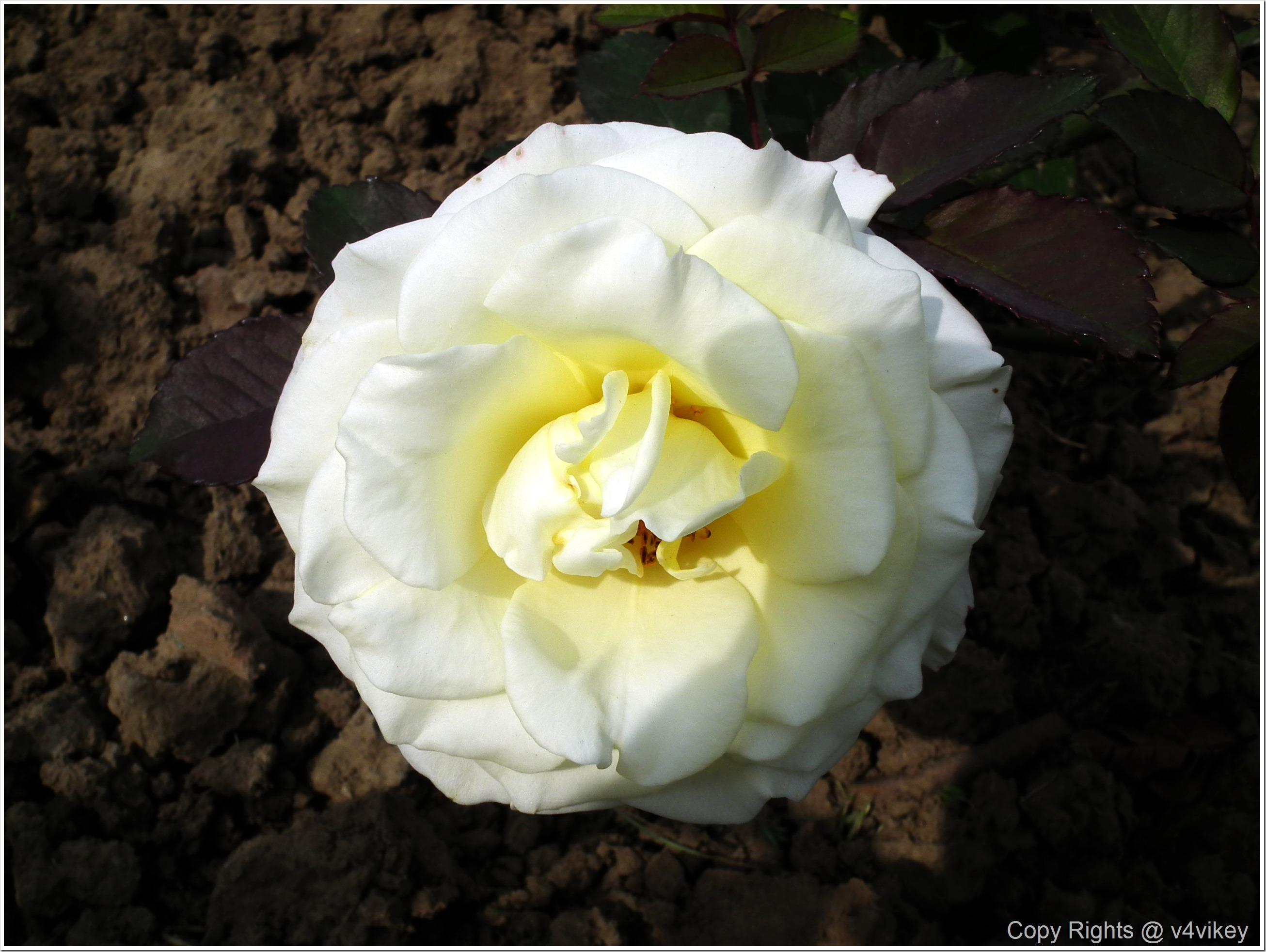 White Color Rose Flower
