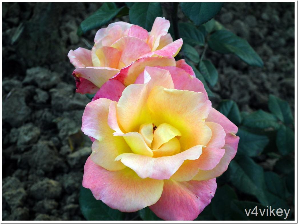 Peace Rose Flowers