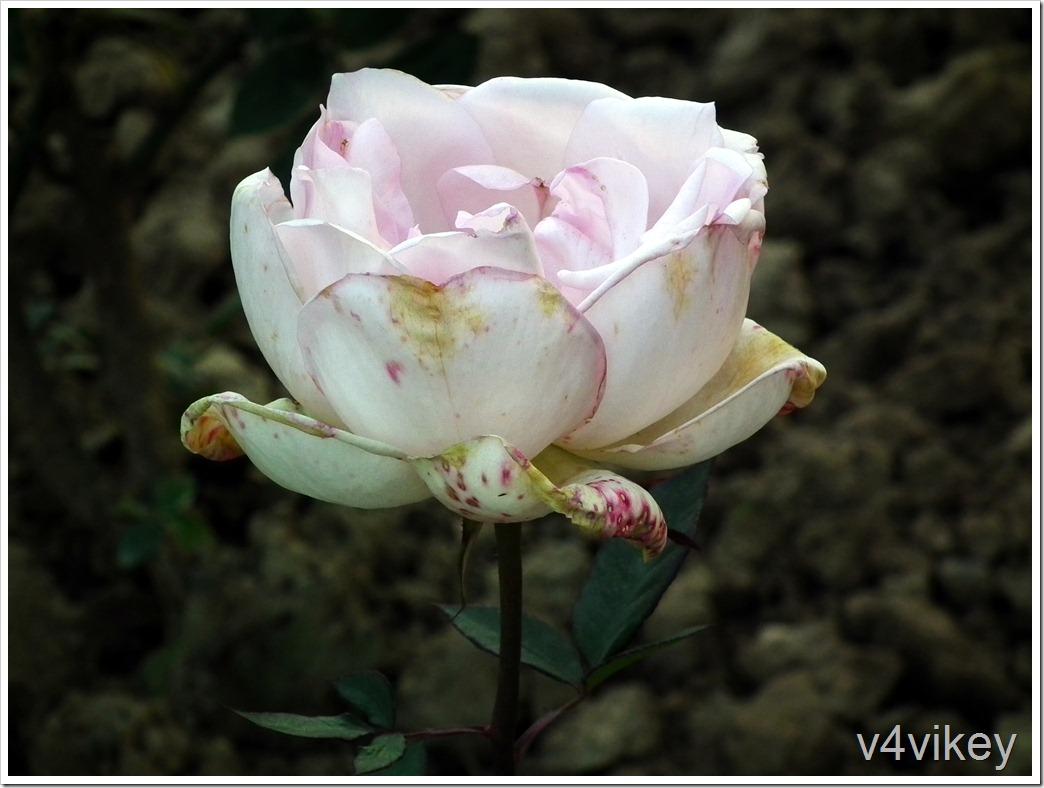 Francis Meilland Hybrid Tea Rose Flower