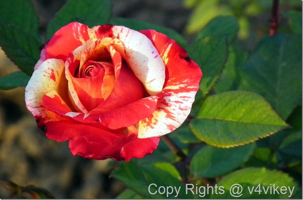 Henri Matisse Rose Flower Wallpaper