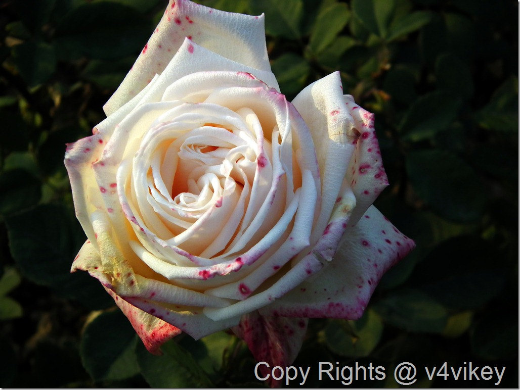 White Hybrid Rose Flower Wallpaper