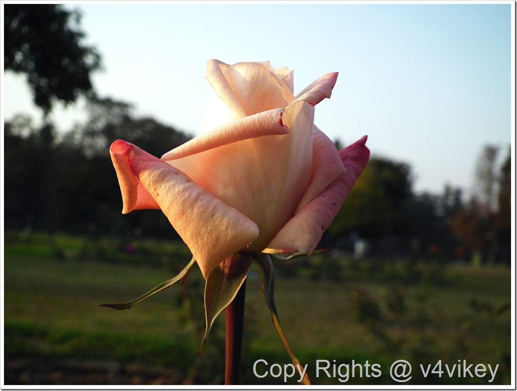 Bronze Star Rosa Hybrid Tea