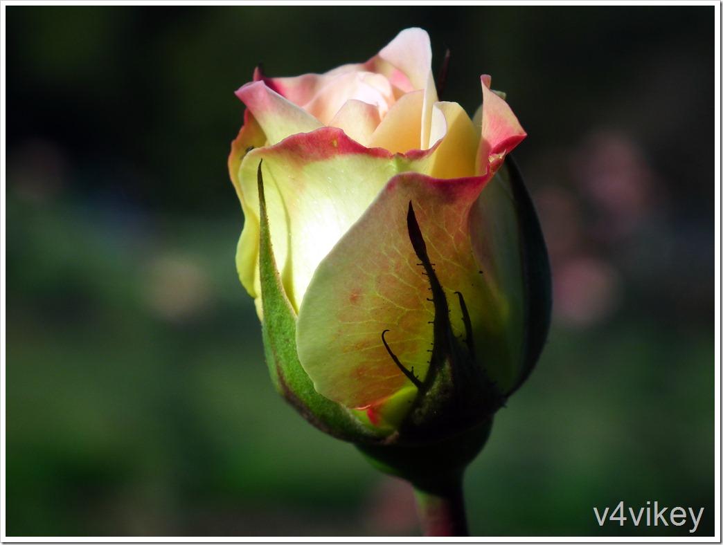 Rose Sheila's Perfume