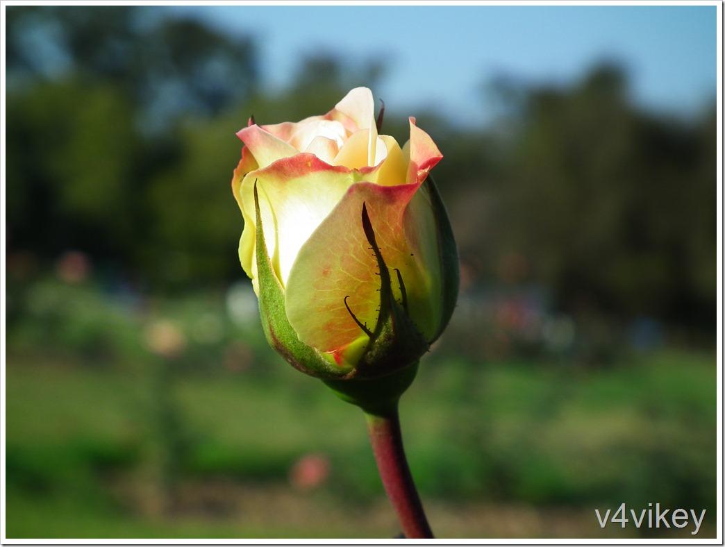 Sheila's Perfume Floribunda Rose Bud