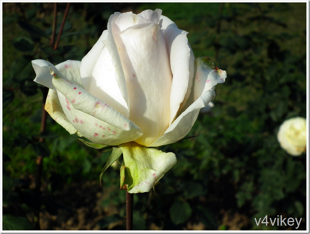John F. Kennedy Hybrid Tea Rose Bud Wallpaper
