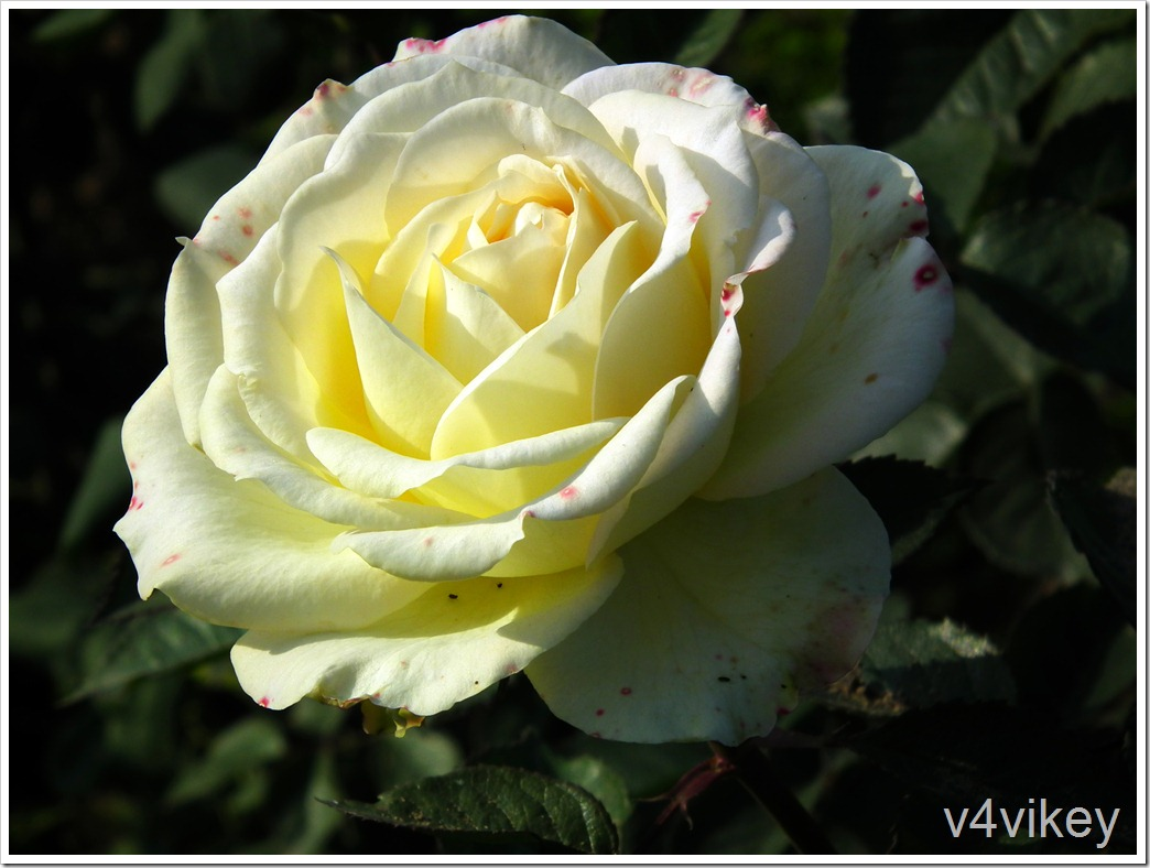 Yellow Hybrid Tea Rose Flower