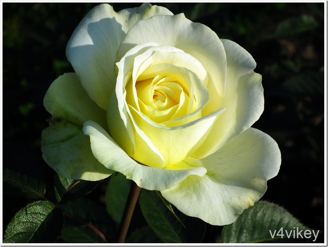 St. Patrick Hybrid Tea Rose Flower Wallpaper