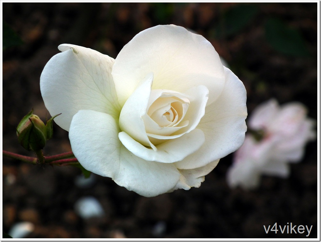 Polar Star Hybrid Tea Rose