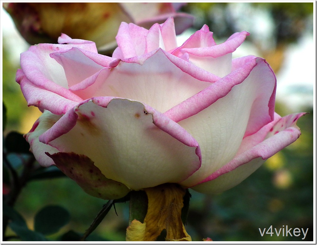 Cindy Hybrid Tea Rose Flower