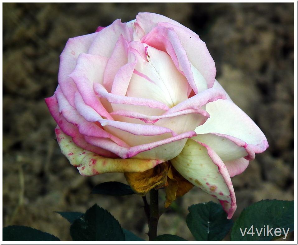 Cindy Pink Color Rose Flower