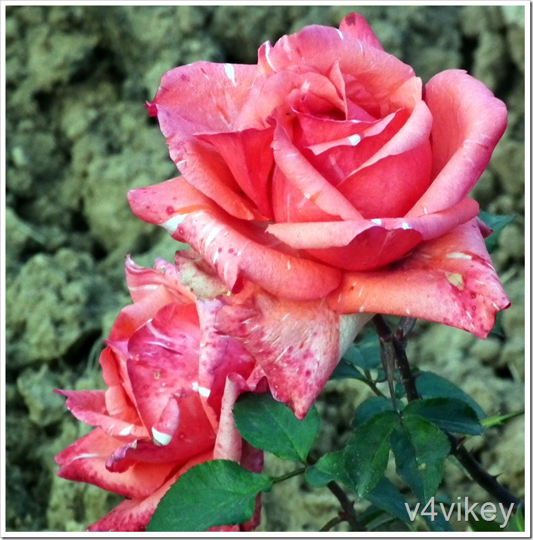 Orange Pink Hybrid Tea Rose