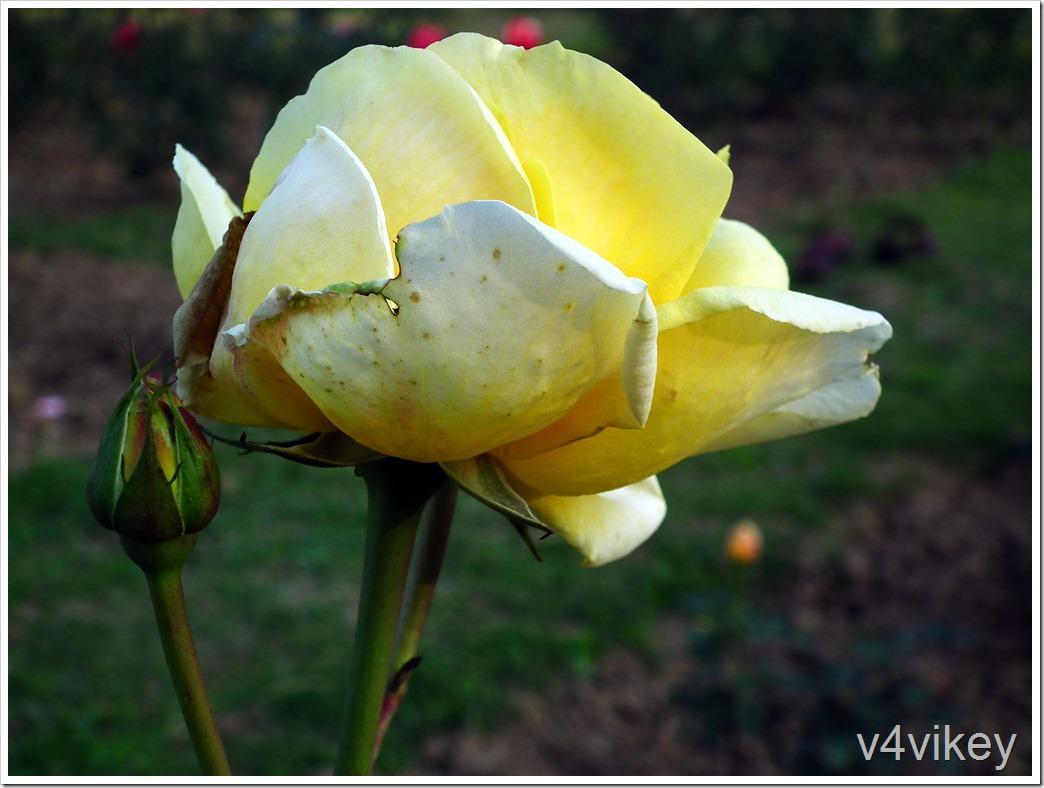 Peaudouce (Elina) Rose Flower