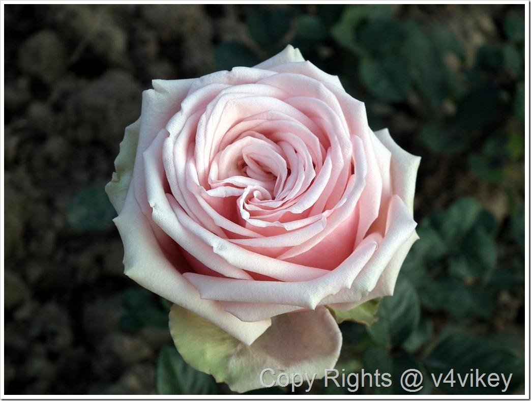 Quietness Rose