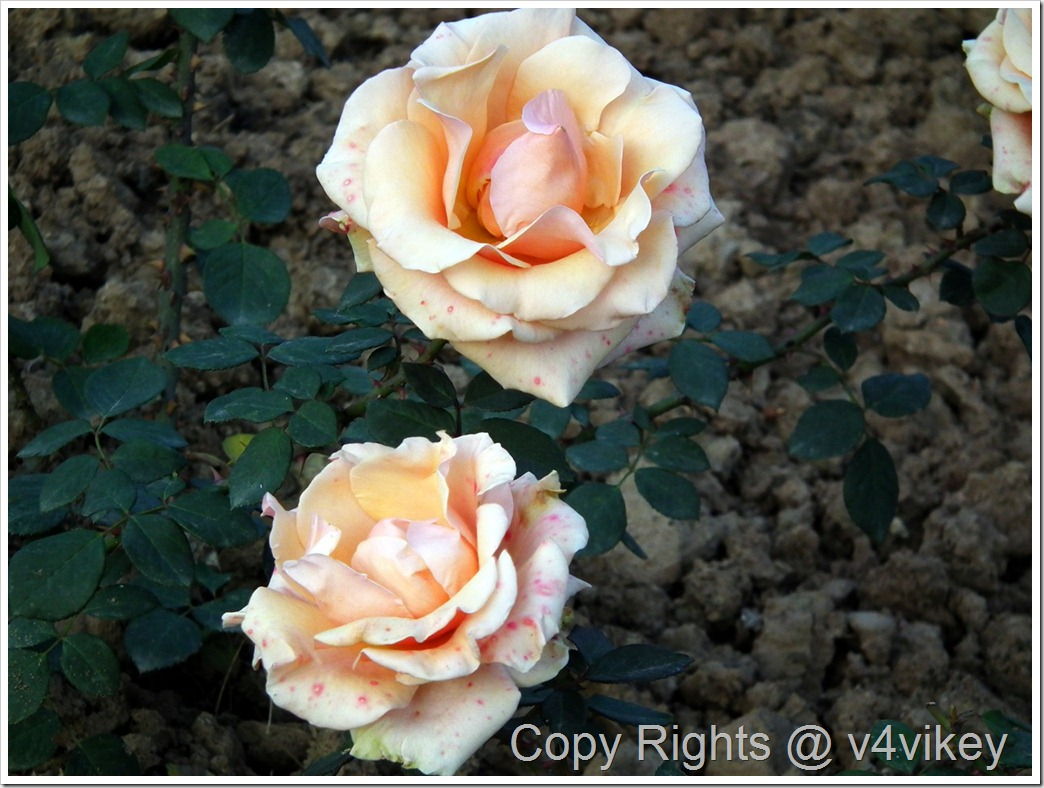 Breath Of Life Climbing Roses